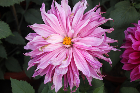 propagation: Dahlia cultivar with pink flower heads, tall herb with tubers for propagation, heads on long stalks Stock Photo