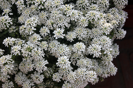 habit: Iberis amara, Candytuft, cultivated ornamental annual herb with spreading habit, and irregular small white flowers in flat-topped corymbs