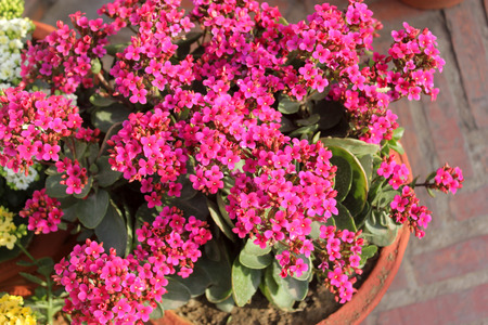 branched: Kalanchoe blossfeldiana pink, ornamental potted plant with succulent opposite leaves and small pink flowers in terminal branched panicles