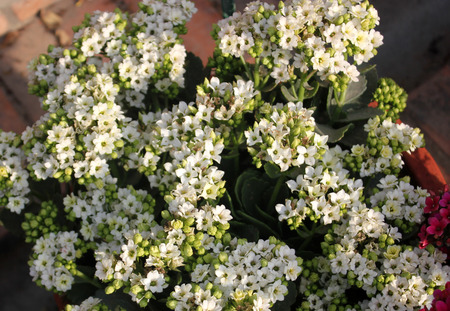 Kalanchoe blossfeldiana white, ornamental potted plant with succulent opposite leaves and small white flowers in terminal branched panicles Stock Photo