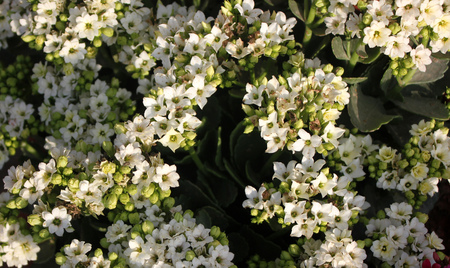 branched: Kalanchoe blossfeldiana white, ornamental potted plant with succulent opposite leaves and small white flowers in terminal branched panicles Stock Photo