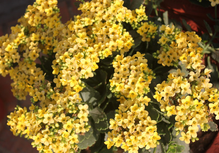 branched: Kalanchoe blossfeldiana yellow, ornamental potted plant with succulent opposite leaves and small yellow flowers in terminal branched panicles