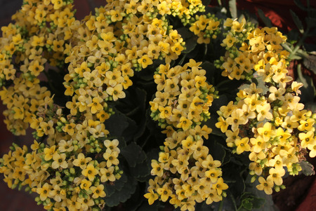 Kalanchoe blossfeldiana yellow ornamental potted plant with stock kalanchoe blossfeldiana yellow ornamental potted plant with succulent opposite leaves and small yellow flowers in mightylinksfo