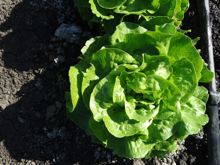 buttery: Lactuca sativa Butterhead, lettuce cultivar with compact spreading cluster of soft buttery leaves, popular as salad