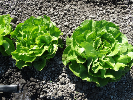 sativa: Lactuca sativa Butterhead, lettuce cultivar with compact spreading cluster of soft buttery leaves, popular as salad
