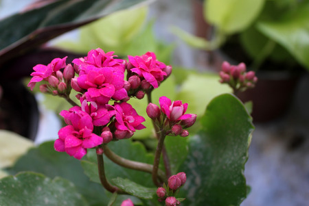 branched: Kalanchoe blossfeldiana, ornamental potted plant with succulent opposite leaves and small flowers in variety of colours in terminal branched panicles