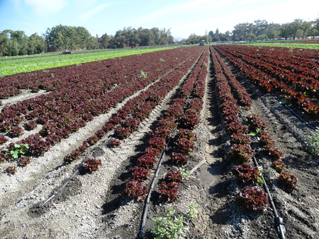 lactuca: Lactuca sativa, curled red lettuce, cultivar with curled red leaves forming an open head, used as salad Stock Photo
