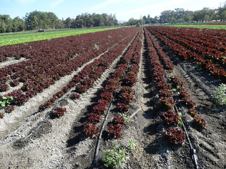 lactuca sativa: Lactuca sativa, curled red lettuce, cultivar with curled red leaves forming an open head, used as salad Stock Photo