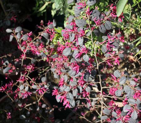 ornamental shrub: Loropetalum chinense var rubrum, Chinese Fringe flower, ornamental shrub with pink flowers with strap shaped petals, needs low maintenance