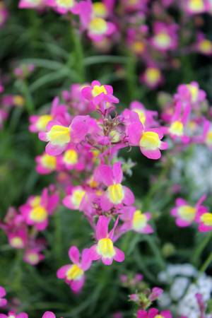 Linaria bipartita, annual garden herb with linear leaves in pink flowers with pale yellow throat with orange base Stock Photo