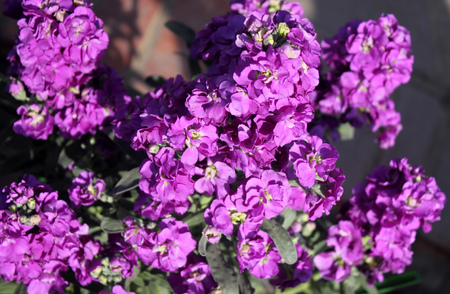 Matthiola incana Opera debora, stock cultivar with deep purple double flowers with good fragrans, great for cut flowers