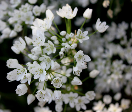perennial: Ornithogallum umbellatum, star-of-Bethlehem, Grass lily, bulbous perennial herb with grass like leaves and white flowers in corymbose racemes Stock Photo