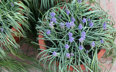 perennial: Muscari botryoides, Small Grape Hyacinth, bulbous perennial with linear leaves and small blue flowers on scape