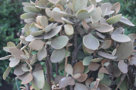 hardy: Kalanchoe orgyalis, tall plant with felted opposite leaves sometimes copper tinged, very hardy plant for pots or in open