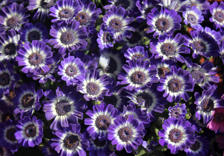 radiate: Pericallis hybrida, Blue and white, Florists Cineraria, ornamental herb with radiate heads in with blue rays with white base and broad leaves