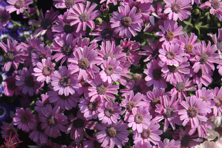 radiate: Pericallis hybrida, Florists Cineraria, ornamental herb with radiate heads in various colors and broad leaves