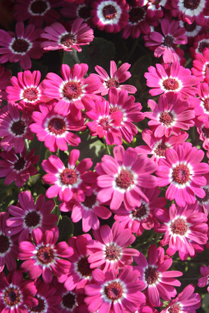 radiate: Pericallis hybrida Jester pink bicolor, Florists Cineraria, cultivar, ornamental herb with radiate heads in with pink rays with white base and broad leaves Stock Photo