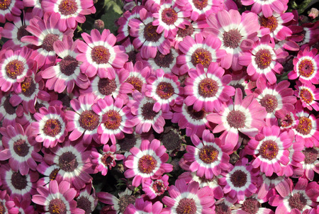 bicolor: Pericallis hybrida Jester pink bicolor, Florists Cineraria, cultivar, ornamental herb with radiate heads in with pink rays with white base and broad leaves Stock Photo