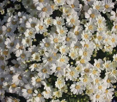 radiate: Pericallis hybrida Jester Pure White, Florists Cineraria, cultivar, ornamental herb with radiate heads in with pure white rays and broad leaves Stock Photo