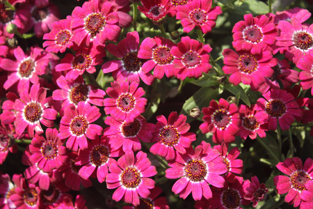 broad leaf: Pericallis hybrida Jester pink bicolor, Florists Cineraria, cultivar, ornamental herb with radiate heads in with pink rays with white base and broad leaves Stock Photo