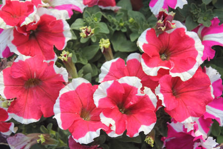 rim: Petunia hybrida Cascadias Rim Chianti, ornamental herb with green ovate leaves, and largepink to red flowers with white rim Stock Photo