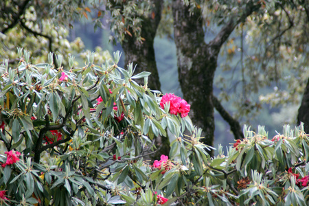 extracting: Rhododendron arboreum, Tree rhododendron, Evergreen tree from Asia often cultivated with beautiful red flowers used for extracting cooling drink locally called burans in India