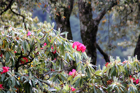 locally: Rhododendron arboreum, Tree rhododendron, Evergreen tree from Asia often cultivated with beautiful red flowers used for extracting cooling drink locally called burans in India