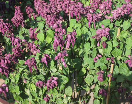splendens: Salvia splendens Vista Purple, cultivar of popular garden ornamental herb with purple flowers and enlarged calyx Stock Photo