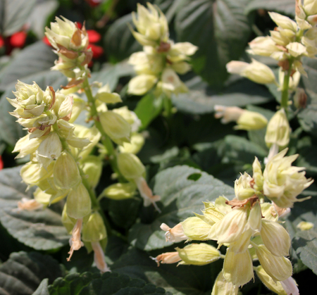 calyx: Salvia splendens Salsa White, cultivar of popular garden ornamental herb with white flowers and enlarged white calyx Stock Photo