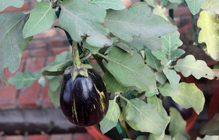 prickly flowers: Solanum melongena, Egg plant, brinjal, cultivated herb to subshrub with prickly stems, purple flowers, and large purple fruits used as vegetable