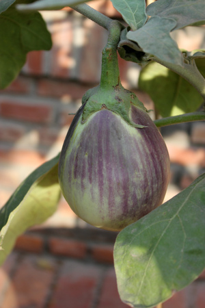 egg plant: Solanum melongena, Egg plant, brinjal, cultivated herb to subshrub with prickly stems, purple flowers, and large purple fruits used as vegetable