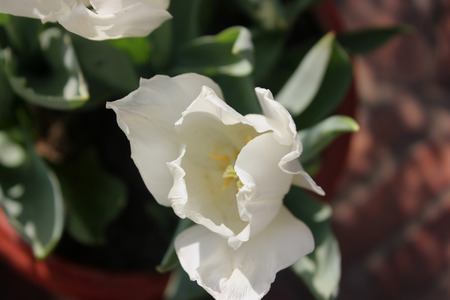 showy: Tulipa gesneriana, Didiers Tulip, bulbous ornamental herb with strap shaped leaves and large showy flowers