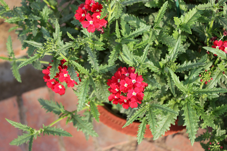 outwards: Verbena hybrida Balazrasp, Aztec Raspberry Verbena, perennial ornamental trailing plant forming mounds with toothed leaves and raspberry red flowers with white center, blooming from the center outwards