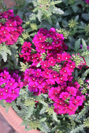 outwards: Verbena hybrida Sandy Rosa, perennial ornamental trailing plant forming mounds with toothed leaves and raspberry purple flowers with white center, blooming from the center outwards Stock Photo