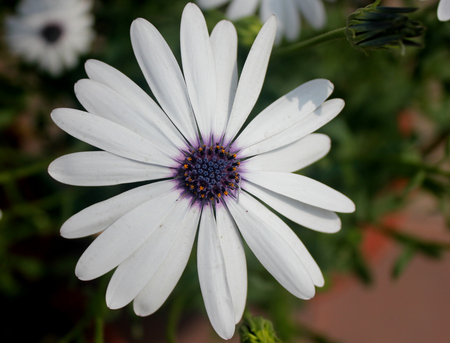 pluvialis: Dimorphotheca pluvialis, ox-eye daisy, annual ornamental herb with narrow leaves and white heads with dark central disc Stock Photo