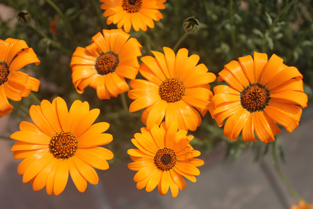 glandular: Dimorphotheca sinuata, Glandular Cape marigold, annual ornamental herb with narrow leaves and orange yellow heads with dark central disc Stock Photo