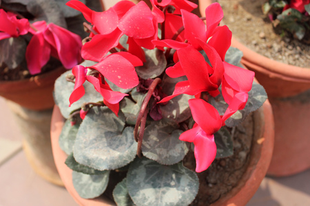 stalk flowers: Cyclamen persicum, Persian cyclamen, ornamental herbaceous perennial with heart shaped leaves with marbled upper surface and red flowers on a long stalk