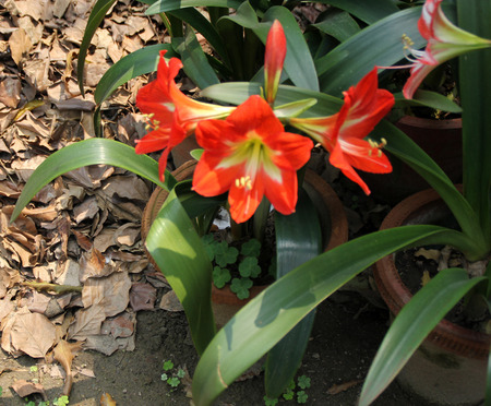 funnel shaped: Hippeastrum reginae, Garden Amaryllis, bulbous ornamental with strap shaped leaves and orange red funnel shaped flowers with white base
