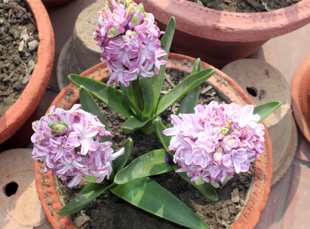 hyacinthus: Hyacinthus orientalis, Garden hyacinth, ornamental bulbous herbaceous perennial with strap shaped leaves and fragrant purple flowers in a terminal spike