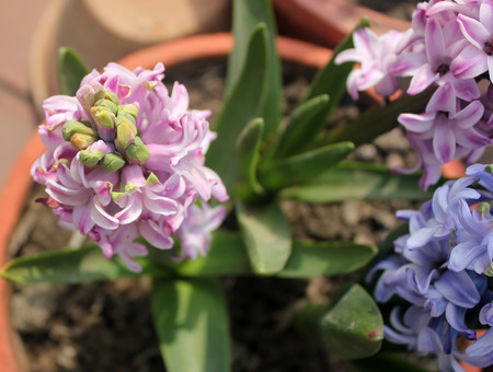 herbaceous: Hyacinthus orientalis, Garden hyacinth, ornamental bulbous herbaceous perennial with strap shaped leaves and fragrant purple flowers in a terminal spike