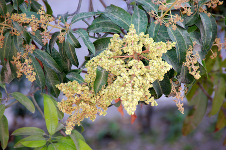 fleshy: Mangifera indica, Mango, evergreen tree with lance shaped leaves and pale white flowers in panicles, producing fleshy delicious fruits