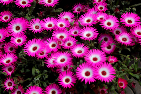 forming: Mesembryanthemum bellidiformis, Livingstone daisy, formerly Mesembryanthemum criniflorum, annual ornamental herb, carpet forming with linear leaves sprinkled with icy dots and large radiating flowers in several colours Stock Photo