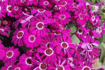 carmine: Pericallis hybrida Jester Carmine bicolor, Florists Cineraria, cultivar, ornamental herb with radiate heads in with carmine rays with white base and broad leaves