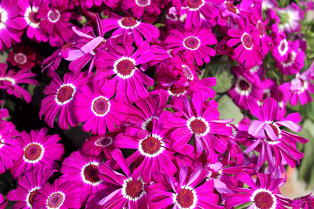 radiate: Pericallis hybrida Jester Carmine bicolor, Florists Cineraria, cultivar, ornamental herb with radiate heads in with carmine rays with white base and broad leaves