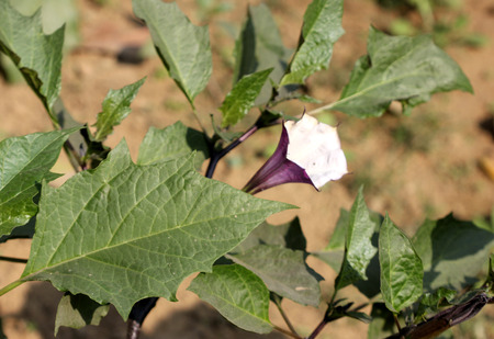 funnel shaped: Datura metel, Devils trumpet, shrub like annual herb with glabroup red stem, alternate leaves and funnel shaped flowers, often red outside, capsule with bumps