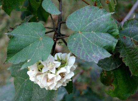 lobed: Dombeya burgessiae , Shrub, up to 3.5 m tall, branched from base, branches tomentose; leaves 3-5 lobed, up to 20 cm long; cymes many-flowered corymbose, flowers white or rose, up to 4 cm across; capsule about 1.5 cm.