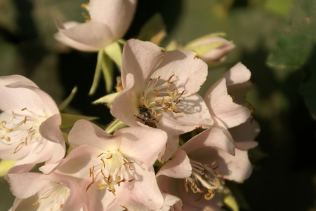 lobed: Dombeya spectabilis, Showy dombeya, small deciduous tree with maple like palmately lobed leaves and white to pinkish flowers in dense clusters Stock Photo