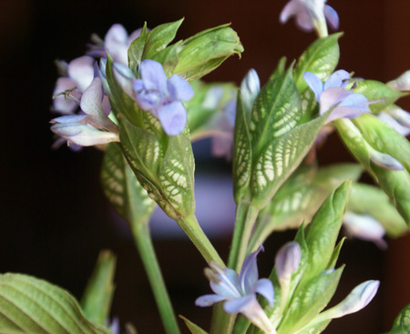 bracts large: Eranthemum pulchellum, Blue eranthemum, evergreen shrub with opposite leaves and blue flowers in compact spikes with large white and green mottled bracts
