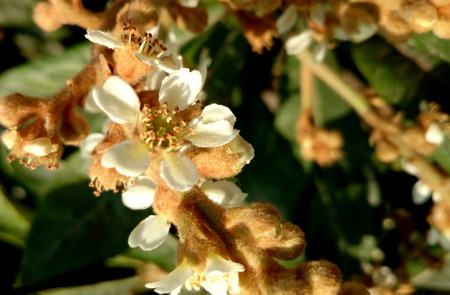 leathery: Eriobotrya japonica, loquat, small evergreen tree with leathery leaves, white flowers and small yellow edible fruits