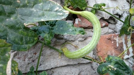 dried gourd: Luffa aegyptiaca, Sponge gourd, also known a L. cylindrical, popular vegetable fruit, on a herbaceous vine with yellow flowers and cylindrical fruits, dried fruits used as bathroom sponge Stock Photo